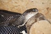 Ringhals (South African Spitting Cobra) — Стоковое фото