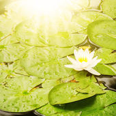 WaterLily Flower — Stock Photo