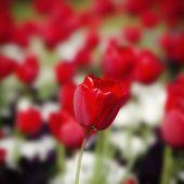 Red Tulip Flower — Stock Photo