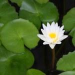 Постер, плакат: White lotus and green leaf in shady pond