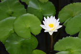 White lotus and green leaf in shady pond. — Stock Photo