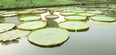 Long pond of victoria lotus leaf. — Стоковое фото