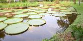 Curve long pond of victoria lotus leaf. — Stock Photo