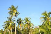 Kokosowe drzewo Grupa liść zielony ogród. — Zdjęcie stockowe