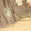 Sandstone Buddha head covered tree root front brick wall. - Stock Photo