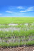 Vertical row of green rice field with blue sky. — Stock Photo