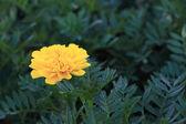 Fleur de calendula jaunes sur les feuilles vert foncé. — Photo