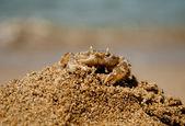 Krabba på sand hillok — Stockfoto