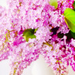 Stock Photo: Lilac in Vase