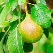 Pear on tree — Stock Photo #13779521
