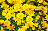 Yellow chrysanthemum flowers background — Stock Photo