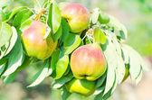 Peach on the tree — Stock Photo