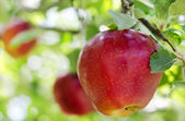 Apple on a branch — Stockfoto