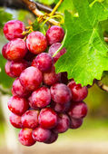 Grapevine with leaves — Stock Photo