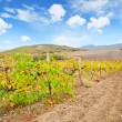 Stock Photo: Vineyard in Crimea
