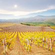 Vineyard in Crimea — Stock Photo