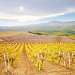 Vineyard in Crimea — Stock Photo