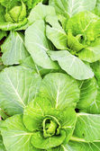 Cabbage — Stockfoto