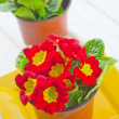 Stock Photo: Primula