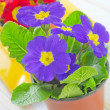 Primula — Stock Photo