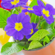 Primula — Stock Photo #22546195