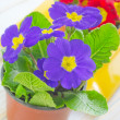 Primula — Stock Photo #24818885