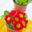 Primula — Stock Photo #24818893