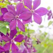Clematis — Stock Photo #26166983