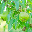 Pear on tree — Stock Photo #27600431