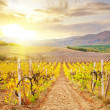 Vineyard in Crimea, mountain in Crimea — Stock Photo