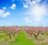 Peach garden — Stock Photo