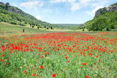 Poppies in green field — Stock Photo