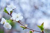 Blooming branches — ストック写真