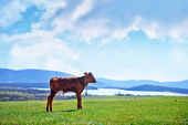 Calf on a meadow — Stock Photo