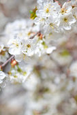 Beautiful blooming branches — Stock Photo
