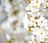 Blooming branches — Stock Photo