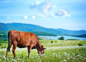 Caws in field — Stock Photo