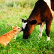 Dog and calf communication — Stock Photo