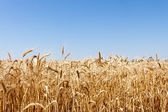 Ripe golden wheat isolated on sky — Stock Photo