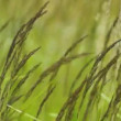 Reed grass - Stock Photo