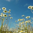 Chamomile flowers and blue sky - Stock Photo
