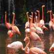 Stock Video: Pink flamingos