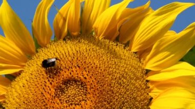 Sunflower — Stockvideo