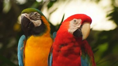 Macaw parrots — Stock Video