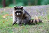 Raccoon — Stock Photo