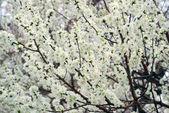 Beihai Park cherry blossom — Stock Photo