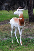 White antelope — Stock Photo