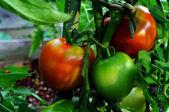 Tomates rojos y verdes — Foto de Stock