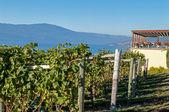 Vineyard at Gray Monk — Stock Photo