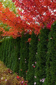 Cedar Hedge and Maple trees — Stock Photo